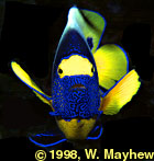 Angelfish Face